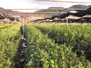 30%お茶IMG_1264