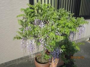 25%藤の花IMG_1503